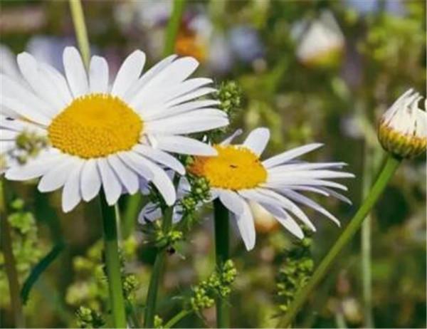 小雏菊蔫了怎么救活 小雏菊种子在种之前要泡吗