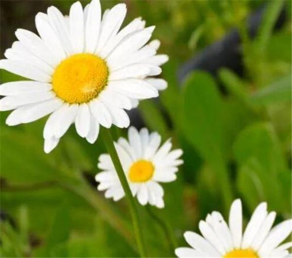 小雏菊插花技巧步骤如下 盆栽小雏菊怎么养