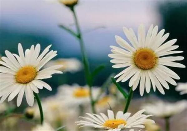 盆栽小雏菊怎么浇水 小雏菊的养殖方法