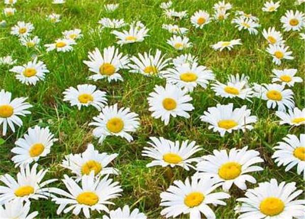 不同颜色雏菊的花语 送雏菊给女孩子代表什么意思