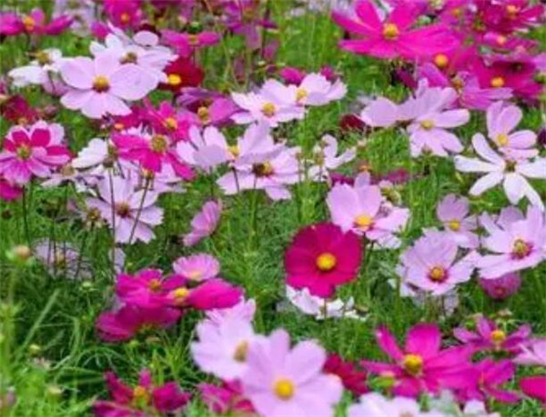 波斯菊怎么种 波斯菊的花语和图片