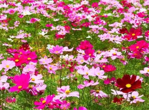 波斯菊什么时候播种 波斯菊种子不催芽几天能发芽