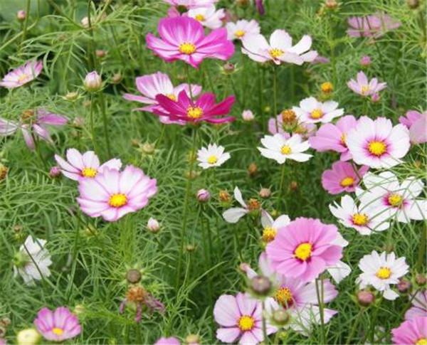 格桑花也叫波斯菊吗 波斯菊盆栽的养殖方法