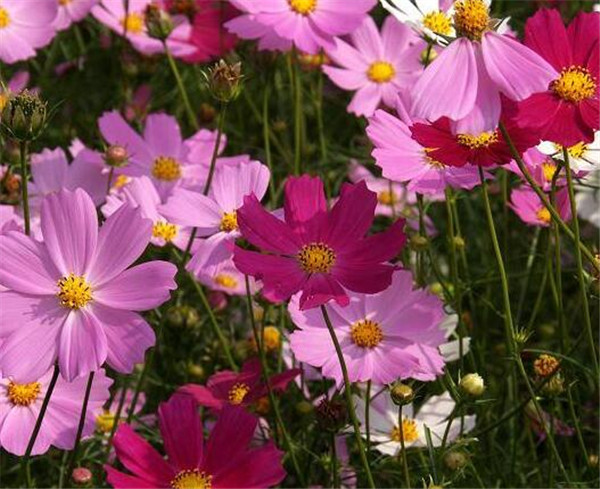 波斯菊怎么摘心 波斯菊什么季节种最好