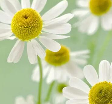 洋甘菊的功效与作用 洋甘菊和小雏菊的区别