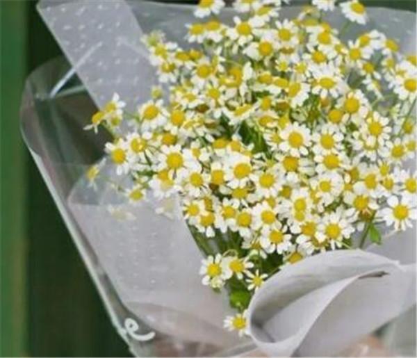 洋甘菊的花语和寓意 洋甘菊怎么养