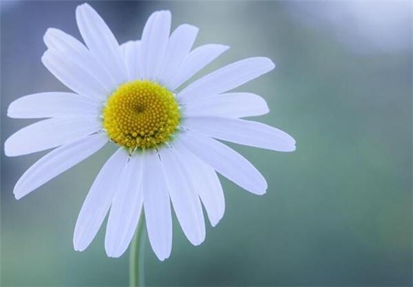 洋甘菊对皮肤的功效 洋甘菊花怎么在花瓶里养