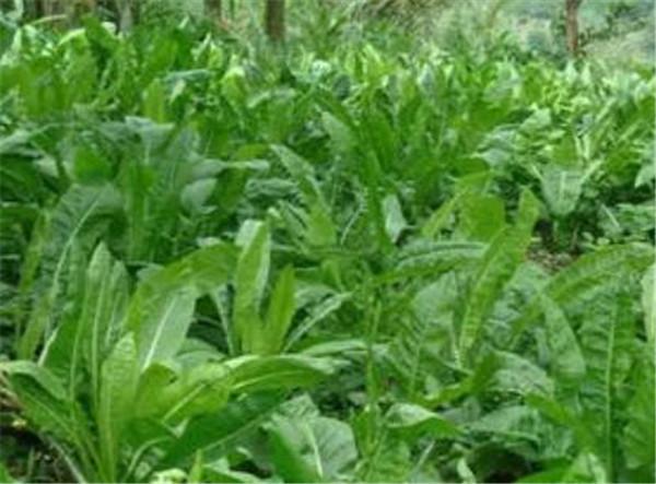 将军菊苣和大叶菊苣的区别 将军菊苣牧草的优缺点