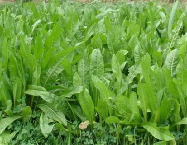 菊苣种植技术 菊苣草种子多少天可以收割