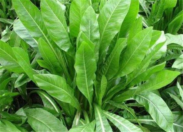 菊苣草种子一亩要多少 菊苣草种子多少钱一斤