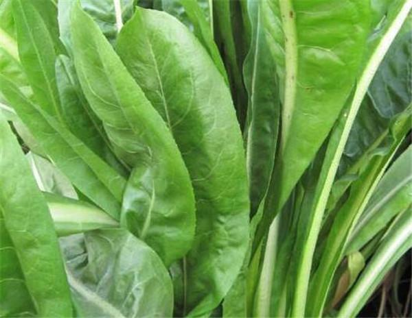 将军菊苣一年收割几次 将军菊苣能长多高