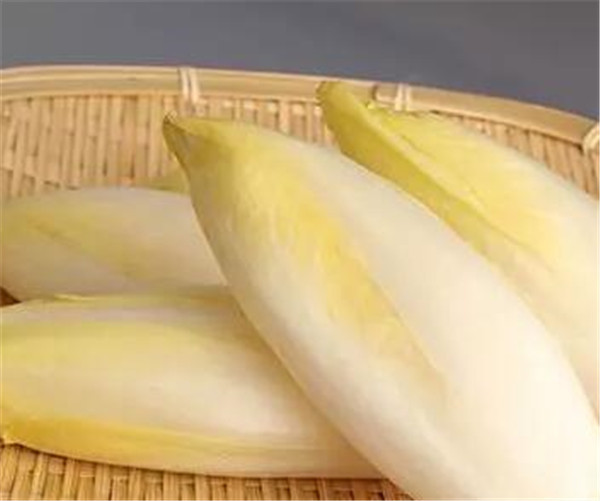 芽球菊苣多少钱一斤 芽球菊苣种植技术