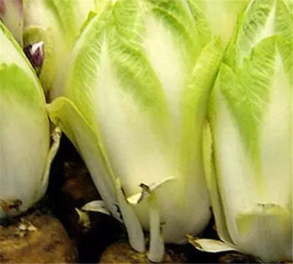菊苣菜市场价多少一斤 菊苣菜种植技术