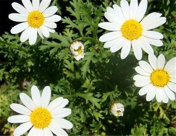 非洲菊的养殖方法和注意事项 非洲菊鲜花的保养方法