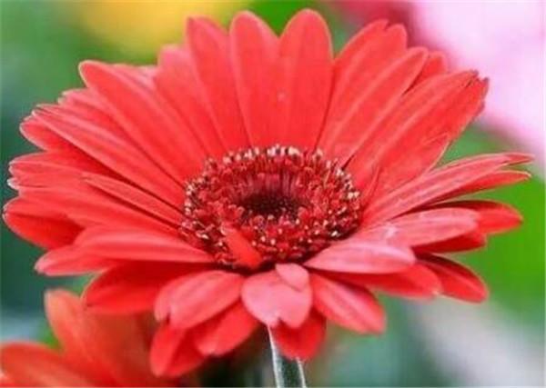 非洲菊怎么水养 非洲菊需要深水醒花吗