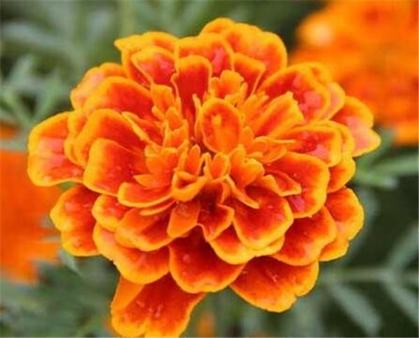 万寿菊的价格是多少一斤 万寿菊种子的种植方法