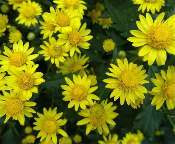 野菊花的功效与作用 野菊花价格和图片