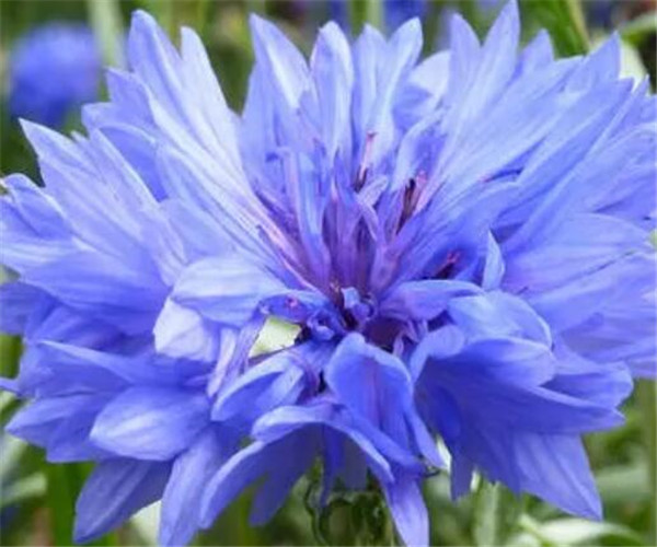 蓝色矢车菊的花语是什么 矢车菊的功效与作用