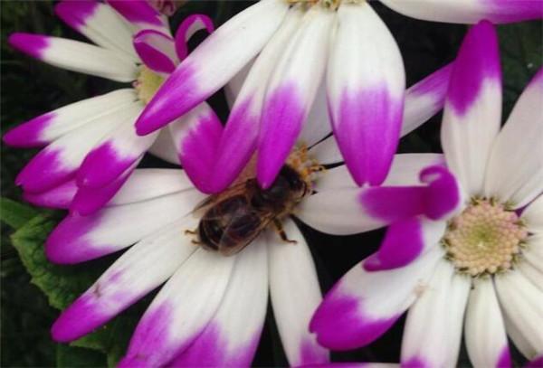 瓜叶菊蔫了的急救方法 瓜叶菊怎么繁殖