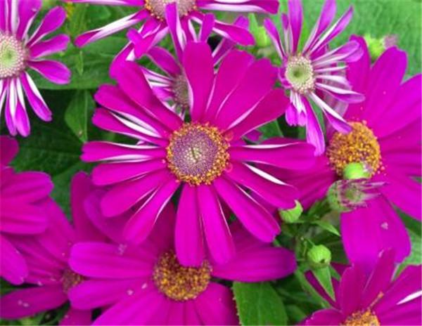 瓜叶菊种子怎么采摘 瓜叶菊几月份播种