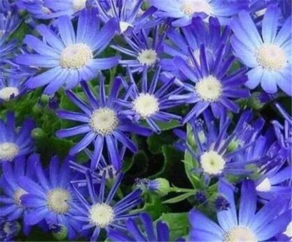 瓜叶菊的花语和寓意 瓜叶菊可以放在客厅吗