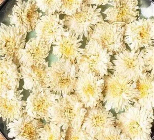 白菊花茶的功效与作用 白菊花泡水喝的好处