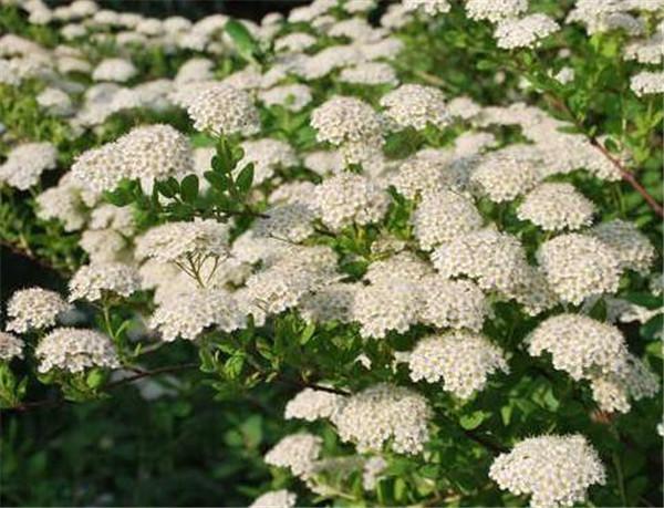 绣线菊的花语和寓意 绣线菊的花期是几月份