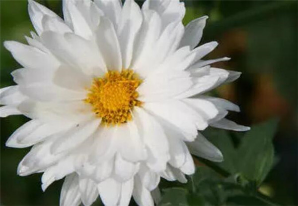 白菊花的花语和象征 情侣之间送菊花代表什么意思