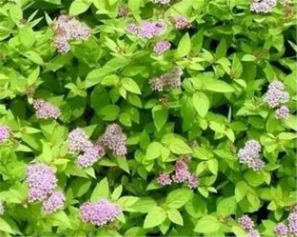 绣线菊有几种 绣线菊的养殖方法和注意事项