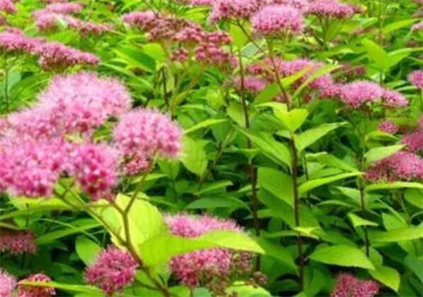 金焰绣线菊的种植方法 金焰绣线菊和金山绣线菊有什么区别