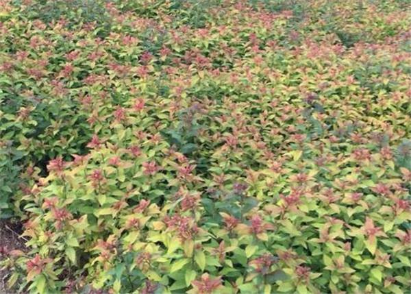 金焰绣线菊繁殖方法 金焰绣线菊几月开花