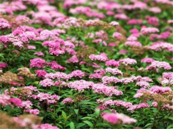 粉花绣线菊是常绿还是落叶 粉花绣线菊什么时候开花