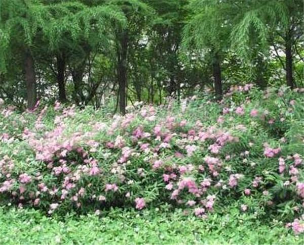 粉花绣线菊花语是什么 粉花绣线菊的功效与作用