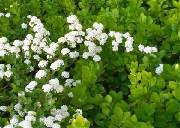 麻叶绣线菊和菱叶绣线菊区别 麻叶绣线菊常绿还是落叶
