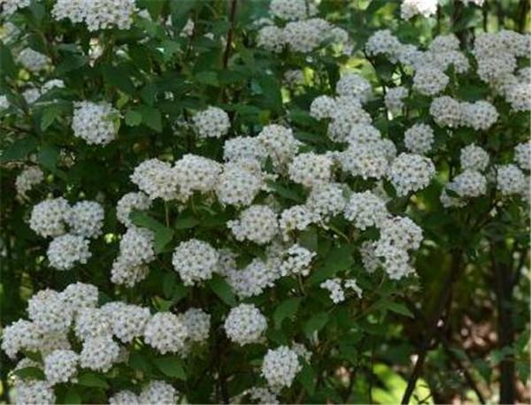 麻叶绣线菊什么时候开花 麻叶绣线菊有毒吗