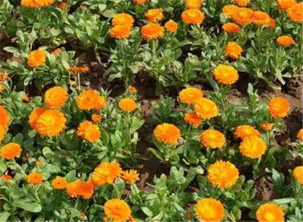 金盏菊的功效与作用 金盏菊种子的种植方法