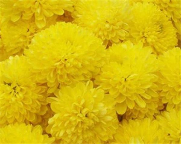 黄山贡菊和杭白菊有什么区别 贡菊花和枸杞泡水有什么作用