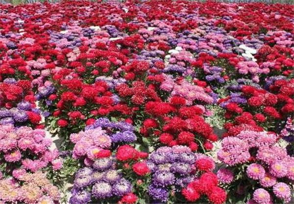 翠菊种子什么时候发芽 翠菊能养多久