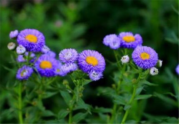 翠菊耐寒多少度 翠菊的花语和寓意