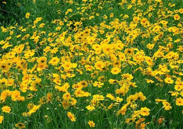金鸡菊种子多少钱一斤 金鸡菊种子什么时候播种最好