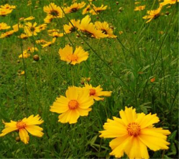金鸡菊可以食用吗 金鸡菊种子的种植方法和时间
