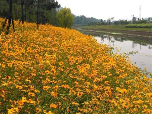 金鸡菊是宿根花卉吗 金鸡菊的功效与作用