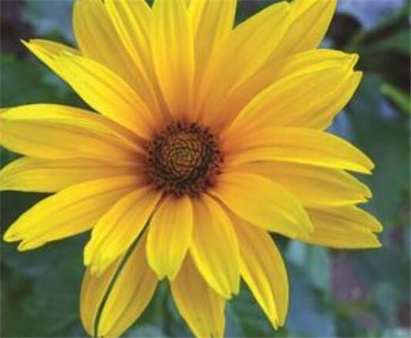 大花金鸡菊花期多长时间 金鸡菊是多年生还是一年生