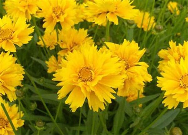 大花金鸡菊播种时间 大花金鸡菊怎么养