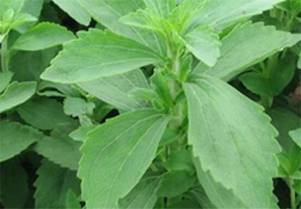 甜叶菊种植时间 甜叶菊种植土壤要求