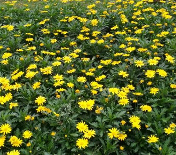 黄金菊的功效与作用 黄金菊的养殖方法和注意事项