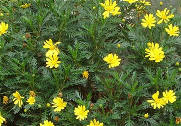 黄金菊为什么要用盆栽 黄金菊冬天枯萎还能活