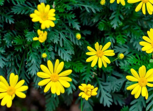 黄金菊冻过还能活吗 黄金菊的栽培方法
