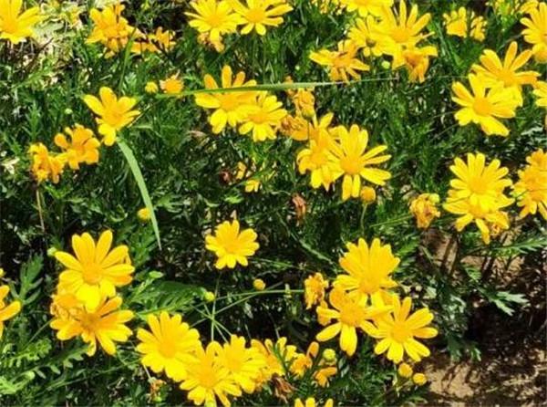 黄金菊一般可以活多久 黄金菊的繁殖方法