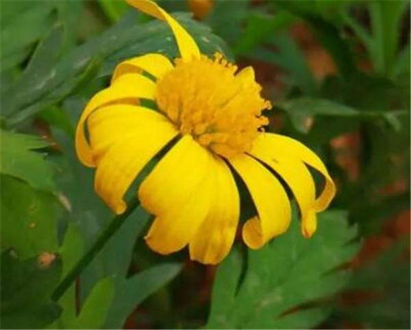 黄金菊什么时候移栽 黄金菊种植方法和时间